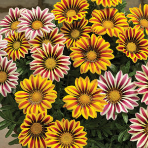 gazania-pot-big_b