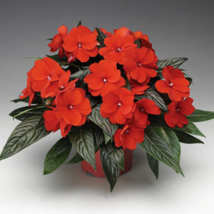 impatiens-new-guinea-pot