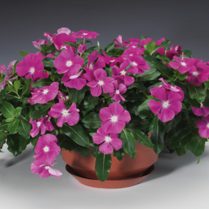 vinca-trailing-pot
